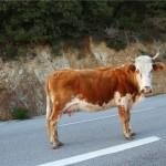 Olé !!! Peut-être que les bêtes à cornes ont peur du rouge, mais pas les corses en tout cas.
